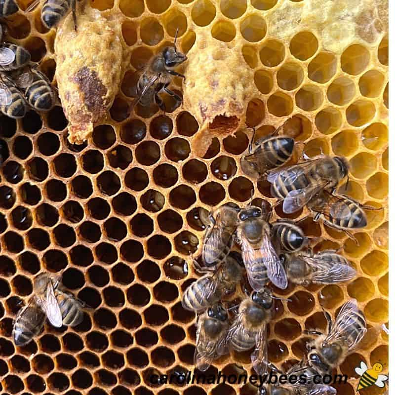 Two queen cells on comb a queen bee has emerged from one cell image.