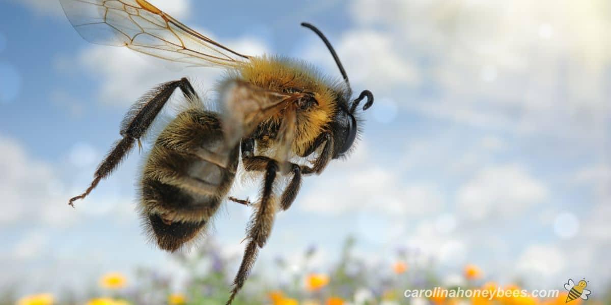 Worker honey bee foraging in garden image.