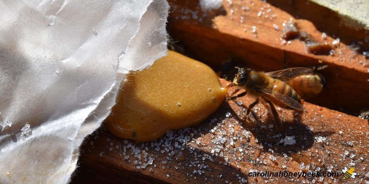 Worker honey bee eating pollen patty in Winter hive image.