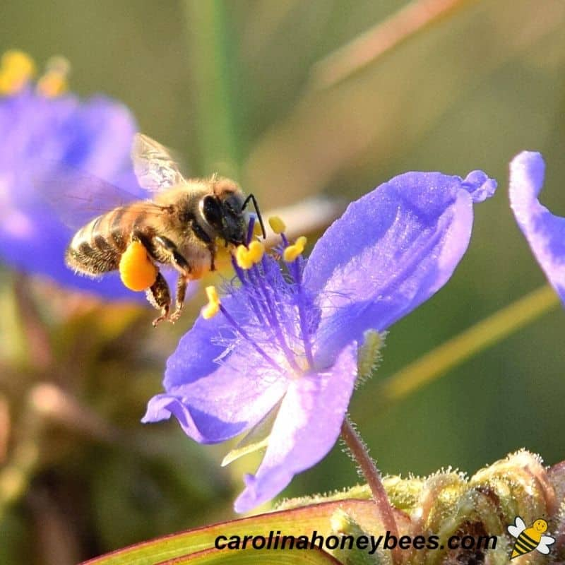 Honey bee gathers pollen for colony to eat image.
