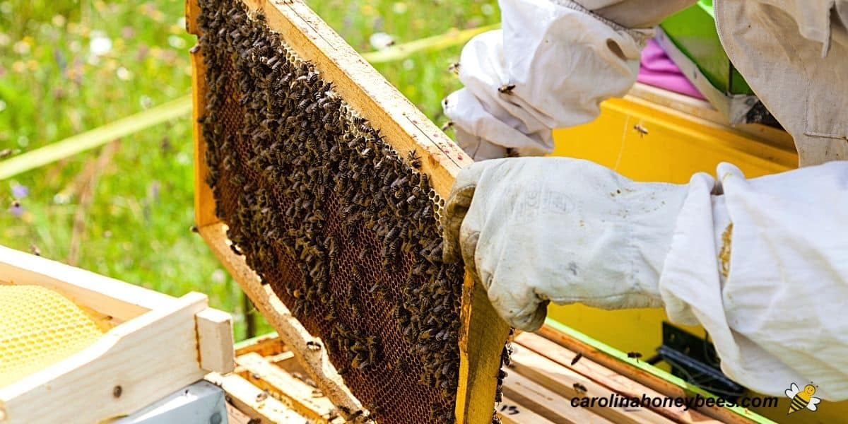 Beekeeper inspecting new hive for health image.