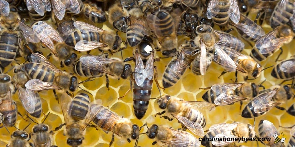 Large dark adult queen bee in hive with workers image.