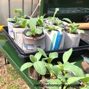 Borage transplants in paper pots in tray image.