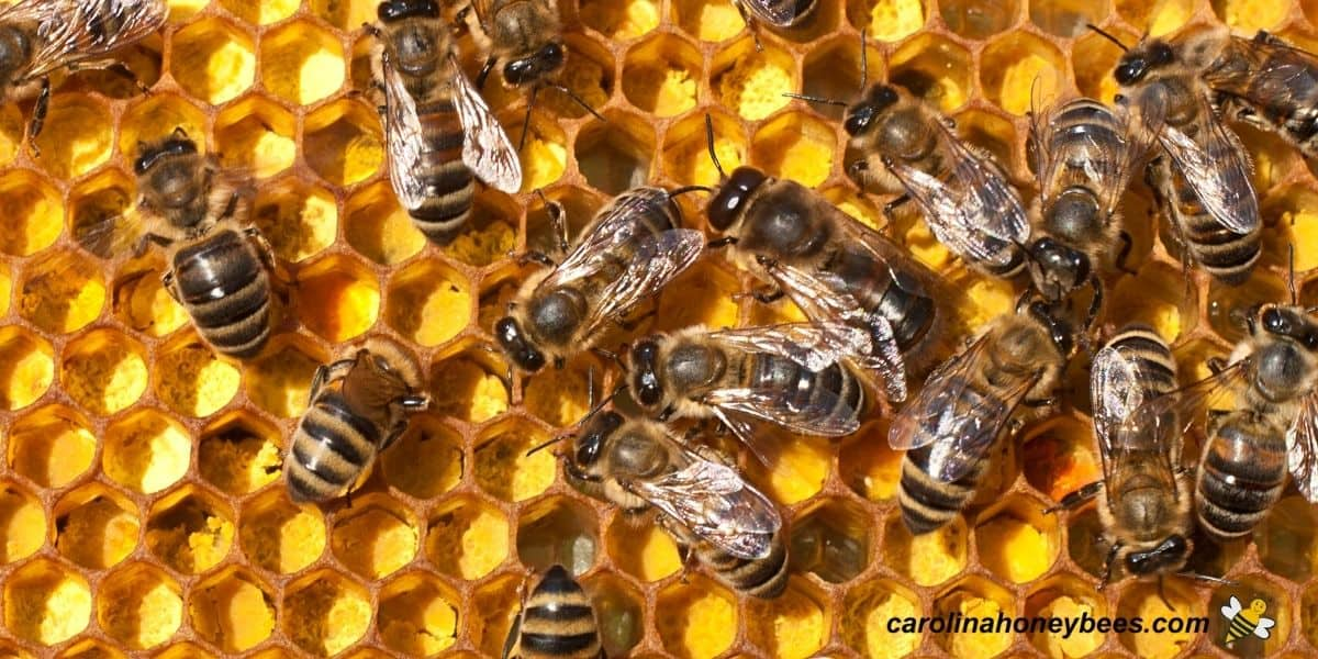 Yellow pollen stored as food for honey bee colony in comb image.