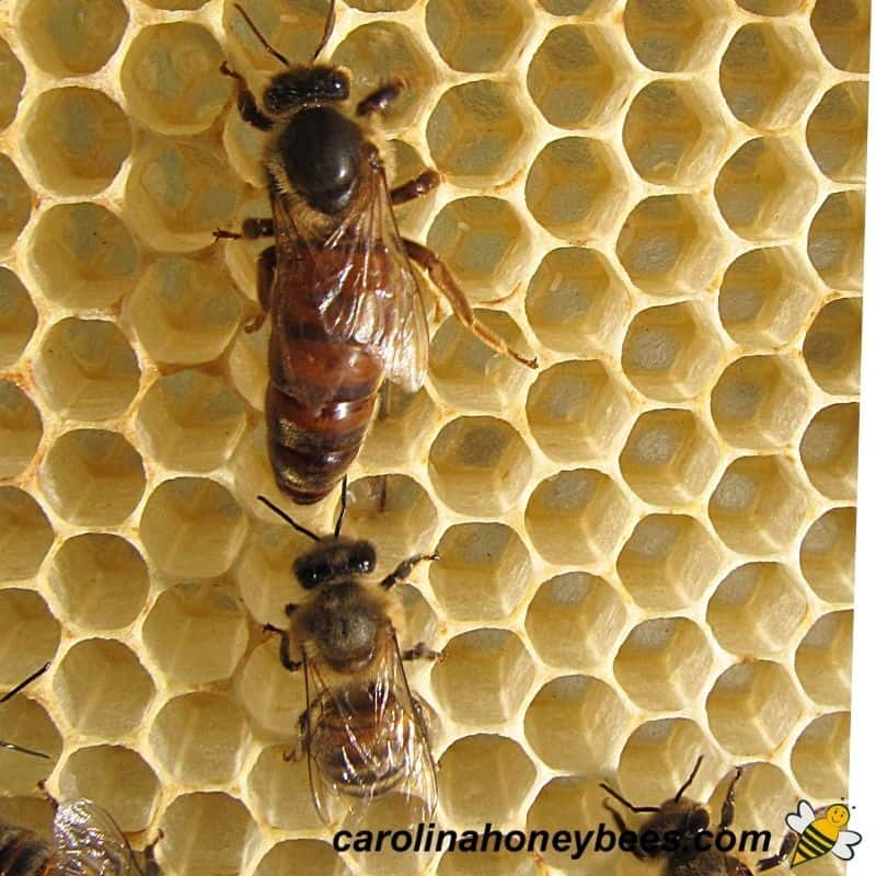 Mated queen honey bee on comb in hive image.