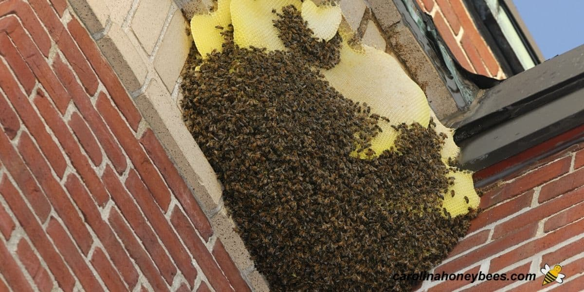 Large honey bee nest to be removed from a home image.