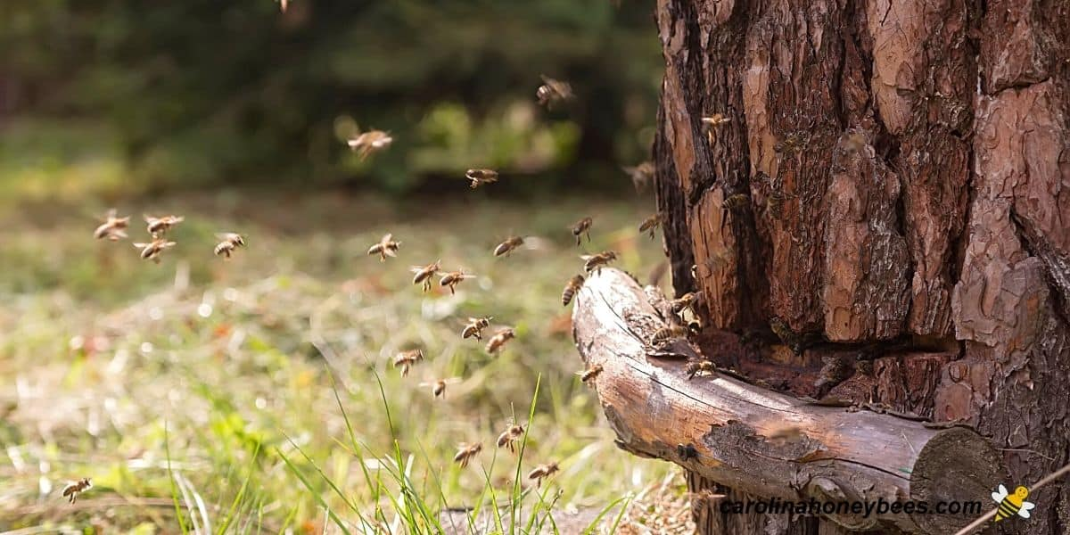 Wild bees living in log hive brought back to bee yard by a beekeeper.